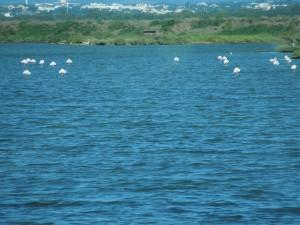 06-09-2015 Arles naar Le Boulou-flamingo's 020
